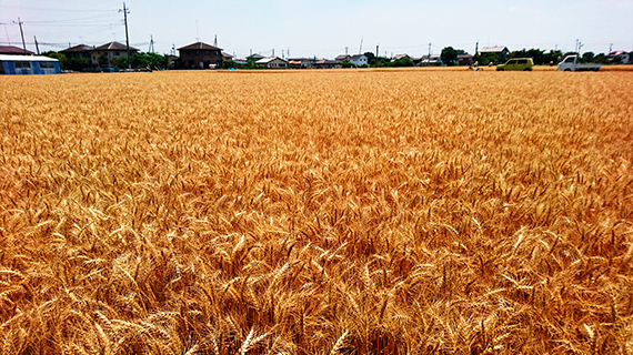 山名の麦畑