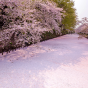 見る・知る・食べる! お花見が楽しくなる桜の雑学