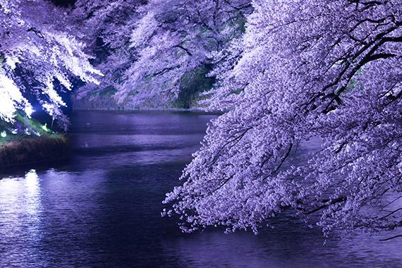 東京・千鳥ヶ淵の夜桜ライトアップ(photo by motionimaging/fotolia)